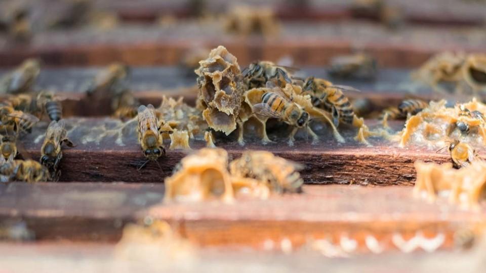 ¿Sabías que se puede extraer el veneno de abejas sin sacrificarlas?
