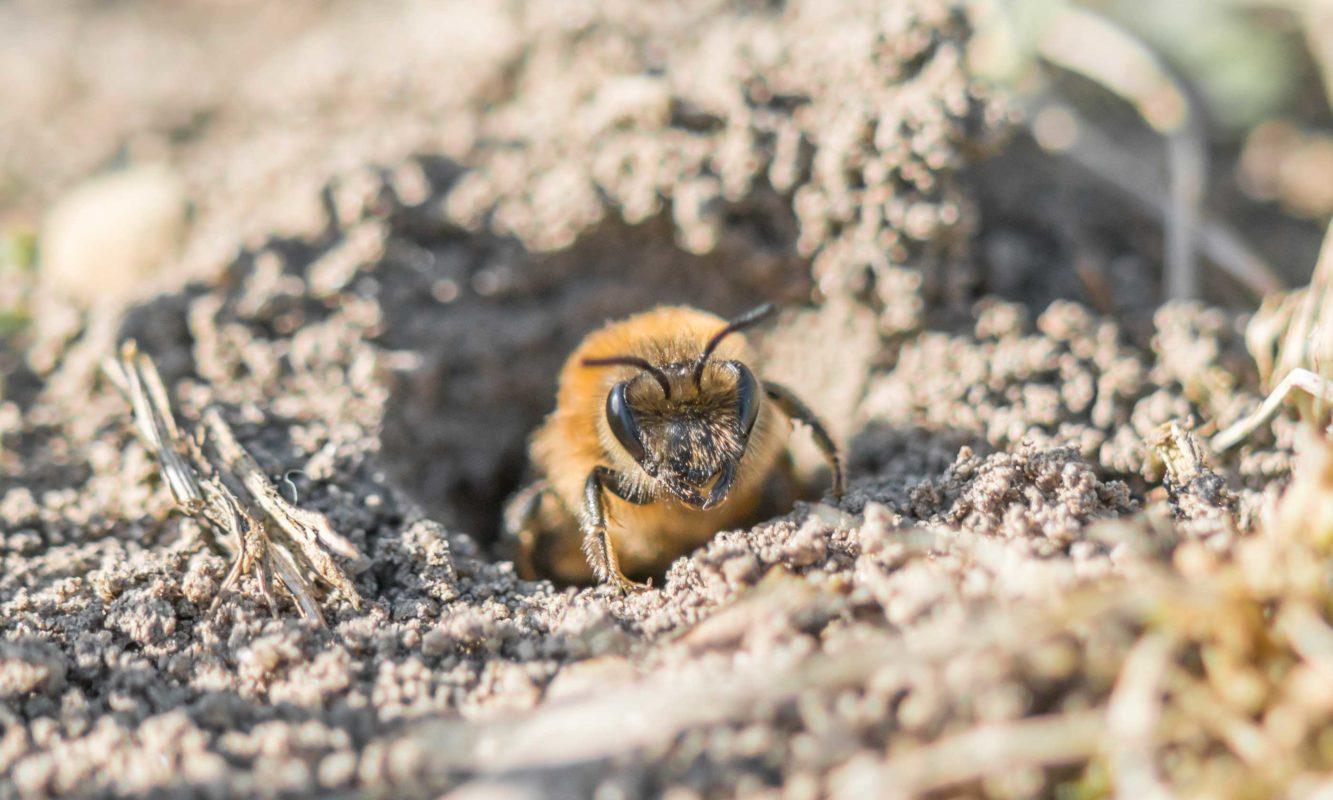 ¿Cómo funciona el veneno de abejas en artrosis?